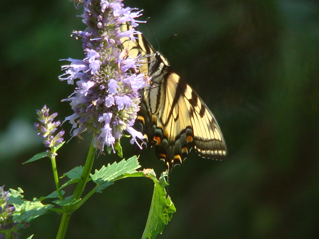 Quinoa  butterfly  Fud 003