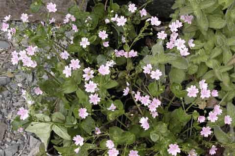 Claytonia-sibirica