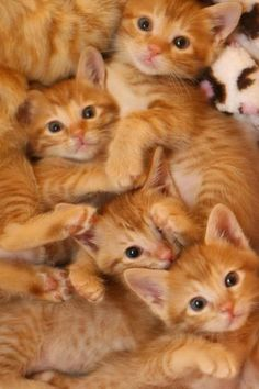 Marmalade kittens